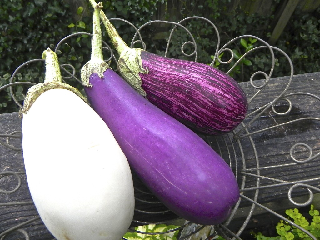 F.J. Medina and Sons Farm eggplant
