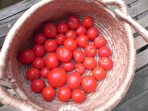 a neighborly gift of late season tomatoes