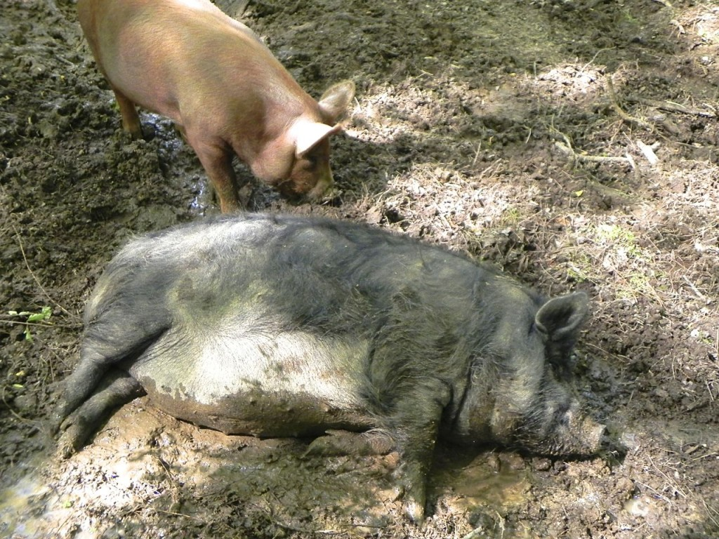 harmony hill farm guinea hog wallowing in the mud
