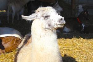 sullivan's pond farm llama