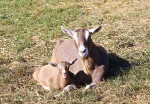 mama and baby goat